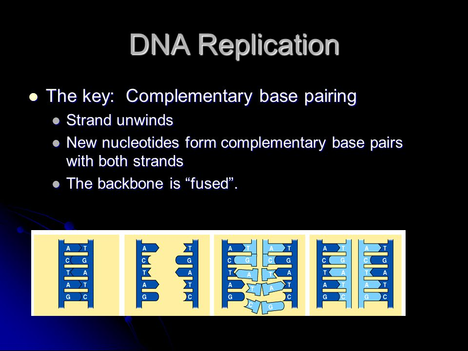 DNA Replication The key: Complementary base pairing The key: Complementary base pairing Strand unwinds Strand unwinds New nucleotides form complementary base pairs with both strands New nucleotides form complementary base pairs with both strands The backbone is fused .