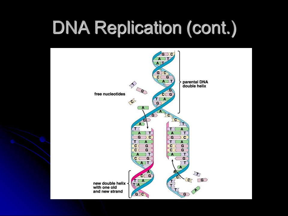DNA Replication (cont.)
