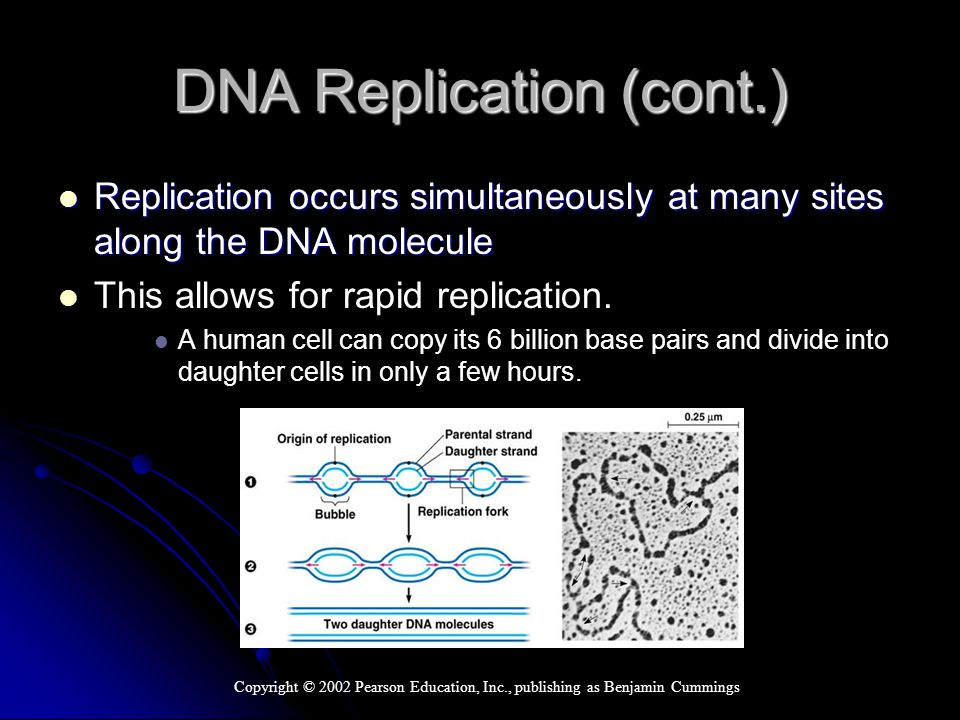 DNA Replication (cont.) Replication occurs simultaneously at many sites along the DNA molecule Replication occurs simultaneously at many sites along the DNA molecule This allows for rapid replication.
