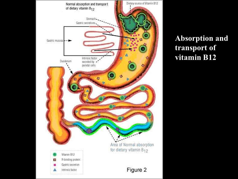 Absorption and transport of vitamin B12