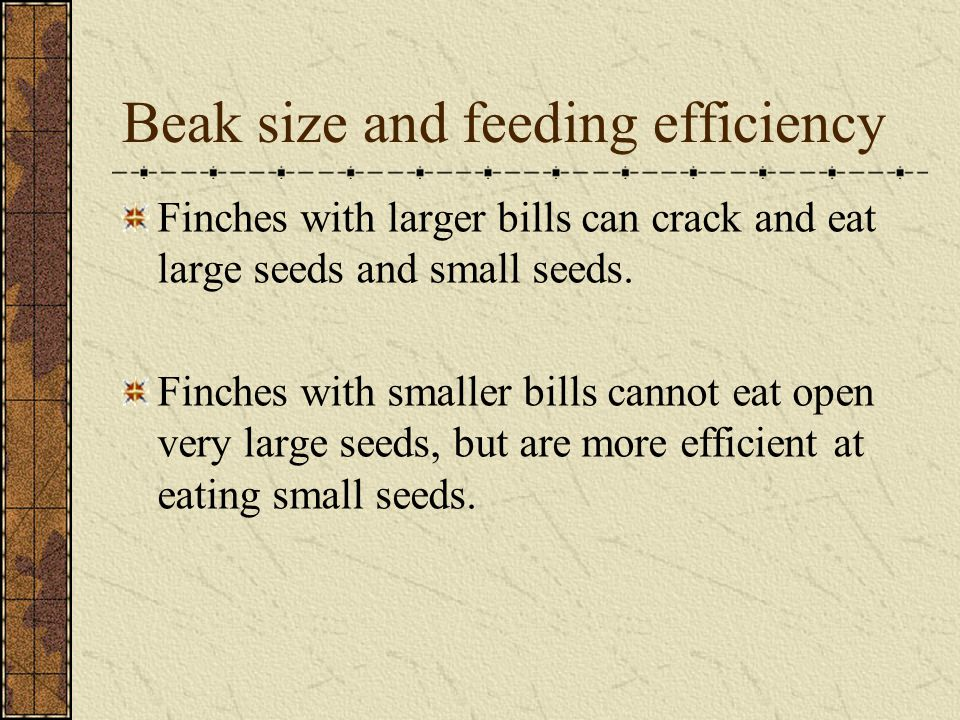 Beak size and feeding efficiency Finches with larger bills can crack and eat large seeds and small seeds. Finches with smaller bills cannot eat open v