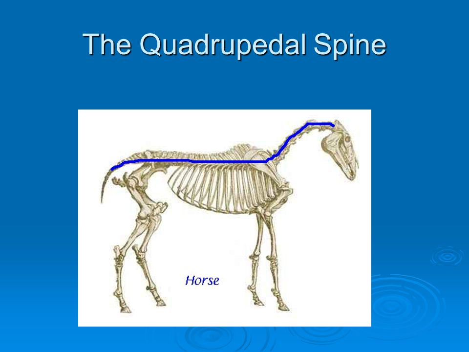The Quadrupedal Spine