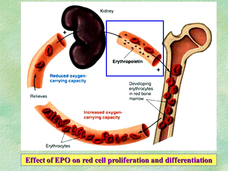 Effect of EPO on red cell proliferation and differentiation