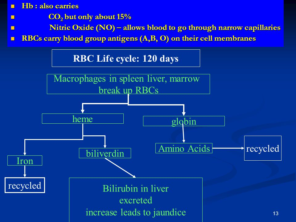 Hb : also carries Hb : also carries CO 2 but only about 15% CO 2 but only about 15% Nitric Oxide (NO) – allows blood to go through narrow capillaries Nitric Oxide (NO) – allows blood to go through narrow capillaries RBCs carry blood group antigens (A,B, O) on their cell membranes RBCs carry blood group antigens (A,B, O) on their cell membranes RBC Life cycle: 120 days Macrophages in spleen liver, marrow break up RBCs heme globin Iron biliverdin Bilirubin in liver excreted increase leads to jaundice recycled Amino Acids recycled 13