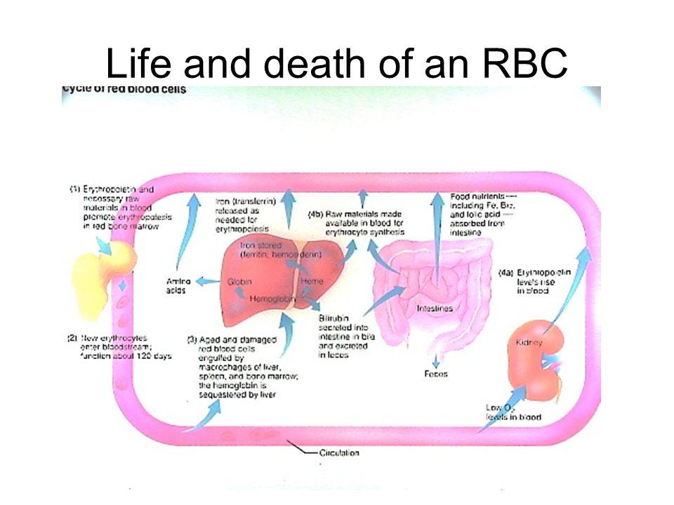 Life and death of an RBC