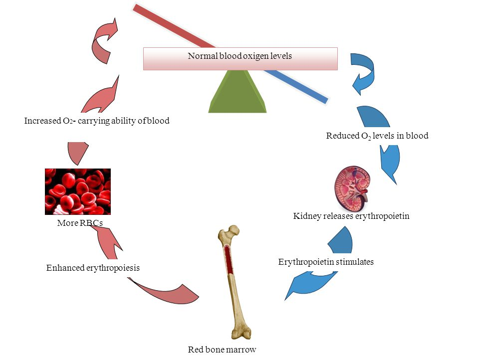 More RBCs Normal blood oxigen levels Reduced O 2 levels in blood Kidney releases erythropoietin Erythropoietin stimulates Red bone marrow Increased O 2 - carrying ability of blood Enhanced erythropoiesis