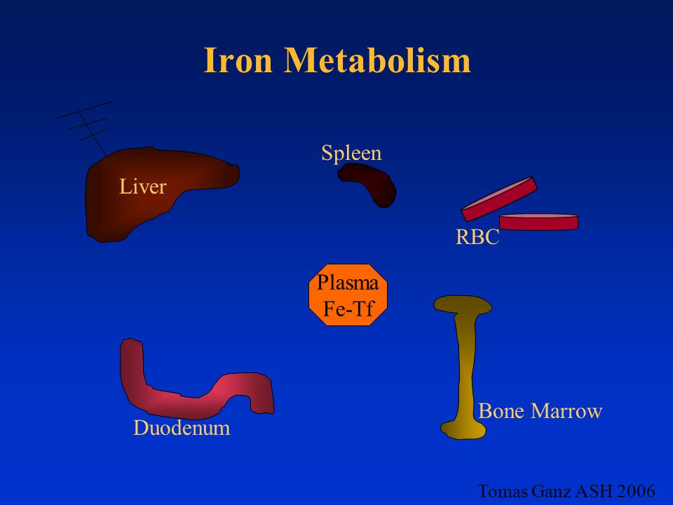 Iron Metabolism Plasma Fe-Tf RBC Bone Marrow Duodenum Spleen Tomas Ganz ASH 2006 Liver