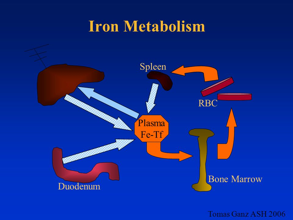 Iron Metabolism Plasma Fe-Tf RBC Bone Marrow Duodenum Spleen Tomas Ganz ASH 2006