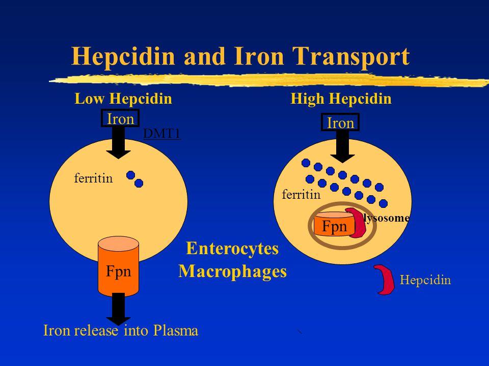 Hepcidin and Iron Transport Fpn Low HepcidinHigh Hepcidin Iron ferritin Hepcidin Iron release into Plasma lysosome Enterocytes Macrophages DMT1