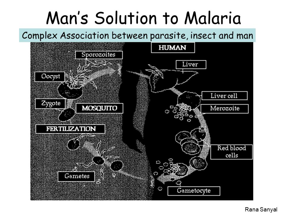 Rana Sanyal Man's Solution to Malaria Complex Association between parasite, insect and man