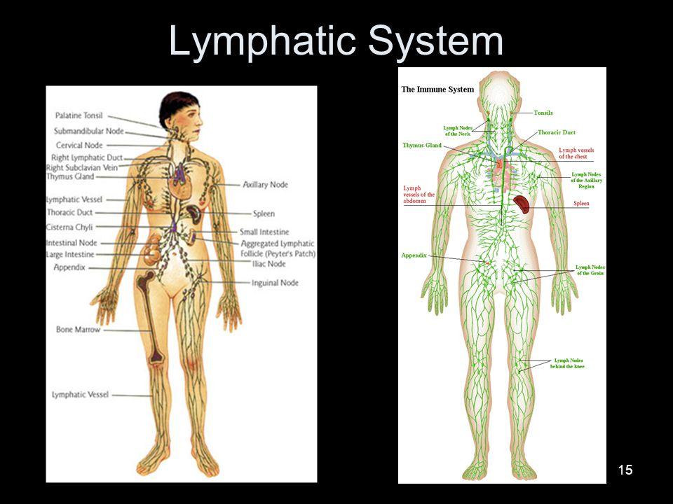 15 Lymphatic System