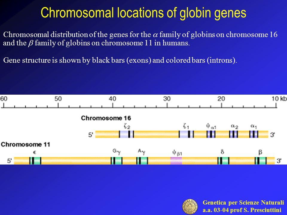 Genetica per Scienze Naturali a.a. 03-04 prof S. Presciuttini Chromosomal locations of globin genes Chromosomal distribution of the genes for the  fa