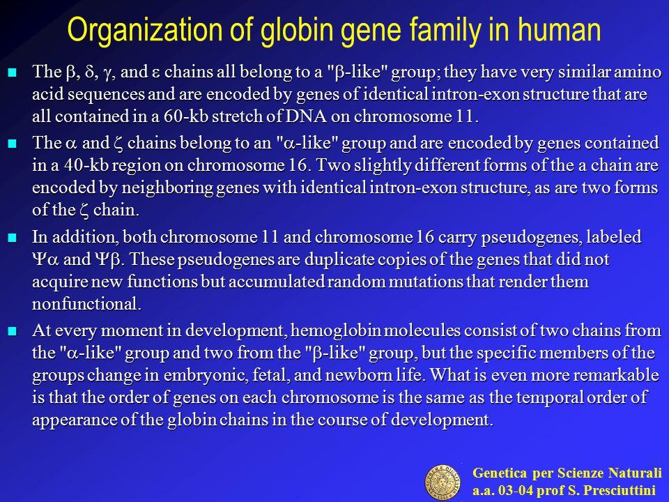 Genetica per Scienze Naturali a.a. 03-04 prof S. Presciuttini Organization of globin gene family in human The , and  chains all belong to a