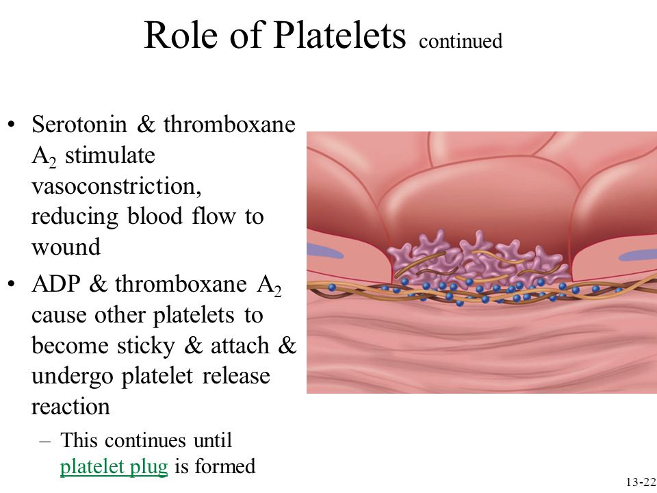 Role of Platelets continued Serotonin & thromboxane A 2 stimulate vasoconstriction, reducing blood flow to wound ADP & thromboxane A 2 cause other platelets to become sticky & attach & undergo platelet release reaction –This continues until platelet plug is formed 13-22