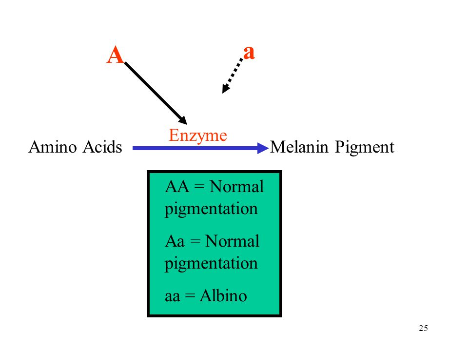 25 Amino AcidsMelanin Pigment Enzyme A a AA = Normal pigmentation Aa = Normal pigmentation aa = Albino