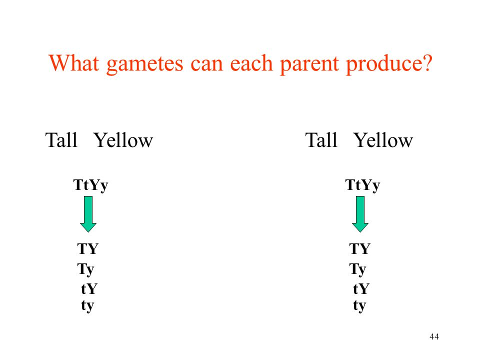 44 Tall Yellow TtYy TY What gametes can each parent produce? Ty tY ty TtYy TY Ty tY ty Tall Yellow