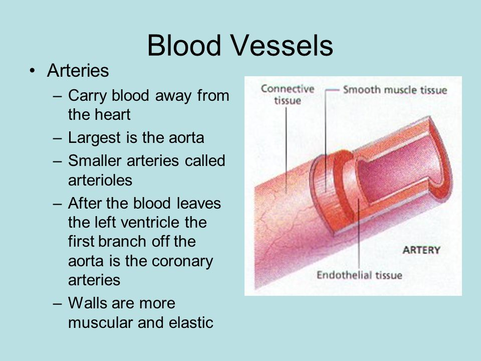 Blood Vessels Arteries –Carry blood away from the heart –Largest is the aorta –Smaller arteries called arterioles –After the blood leaves the left ventricle the first branch off the aorta is the coronary arteries –Walls are more muscular and elastic