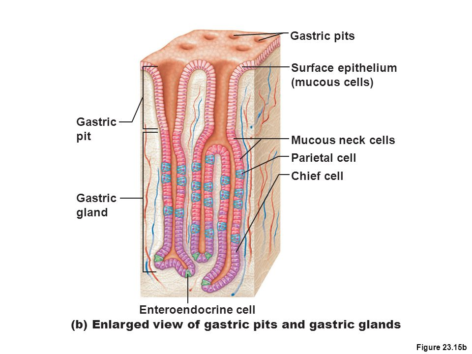 Figure 23.15b (b) Enlarged view of gastric pits and gastric glands Mucous neck cells Parietal cell Surface epithelium (mucous cells) Gastric pits Chie