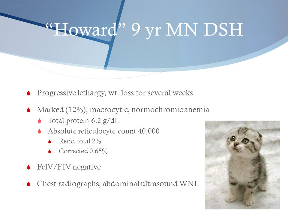 """""""Howard"""" 9 yr MN DSH  Progressive lethargy, wt. loss for several weeks  Marked (12%), macrocytic, normochromic anemia  Total protein 6.2 g/dL  Abs"""
