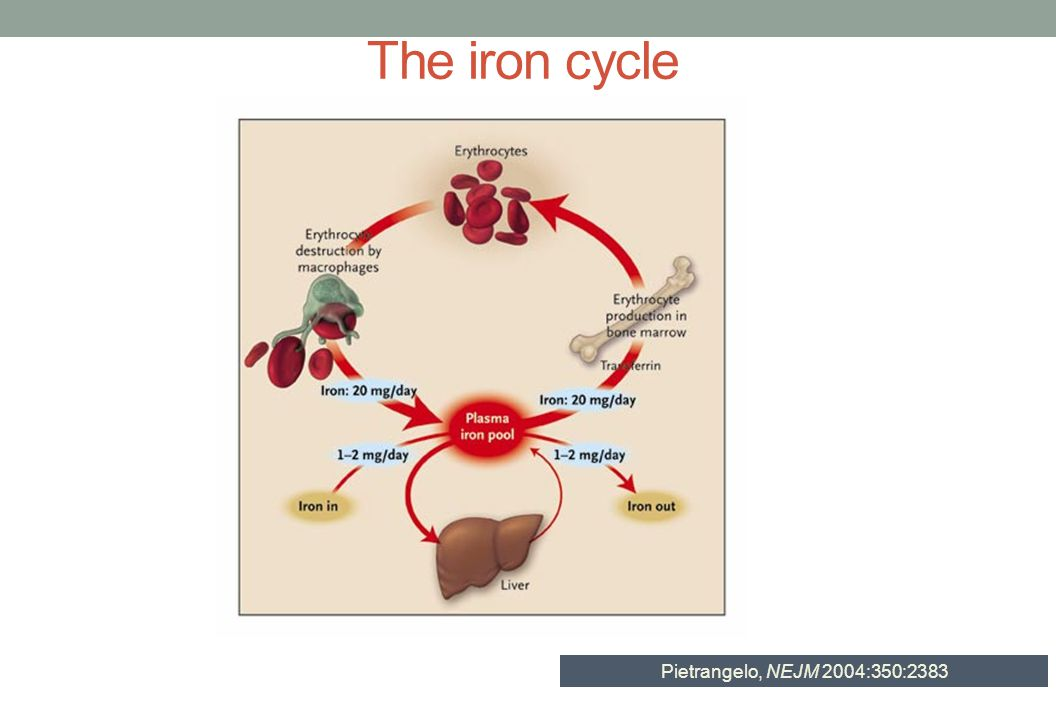 The iron cycle Pietrangelo, NEJM 2004:350:2383