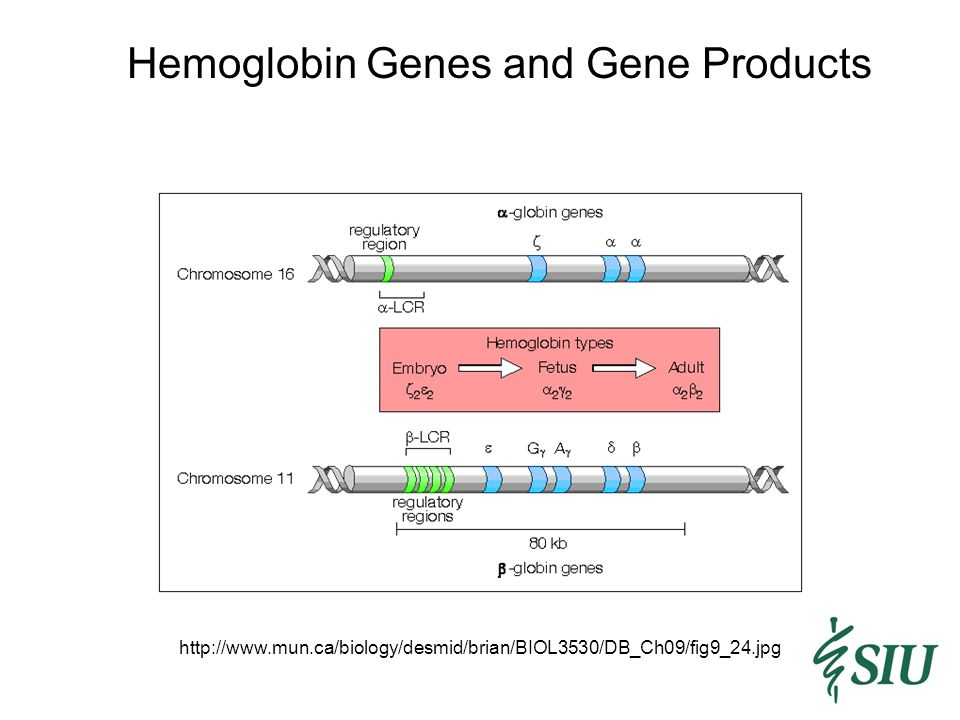 Hemoglobin Genes and Gene Products http://www.mun.ca/biology/desmid/brian/BIOL3530/DB_Ch09/fig9_24.jpg