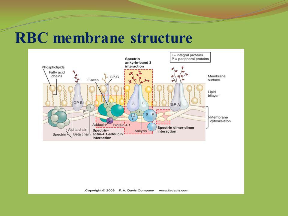 RBC membrane structure