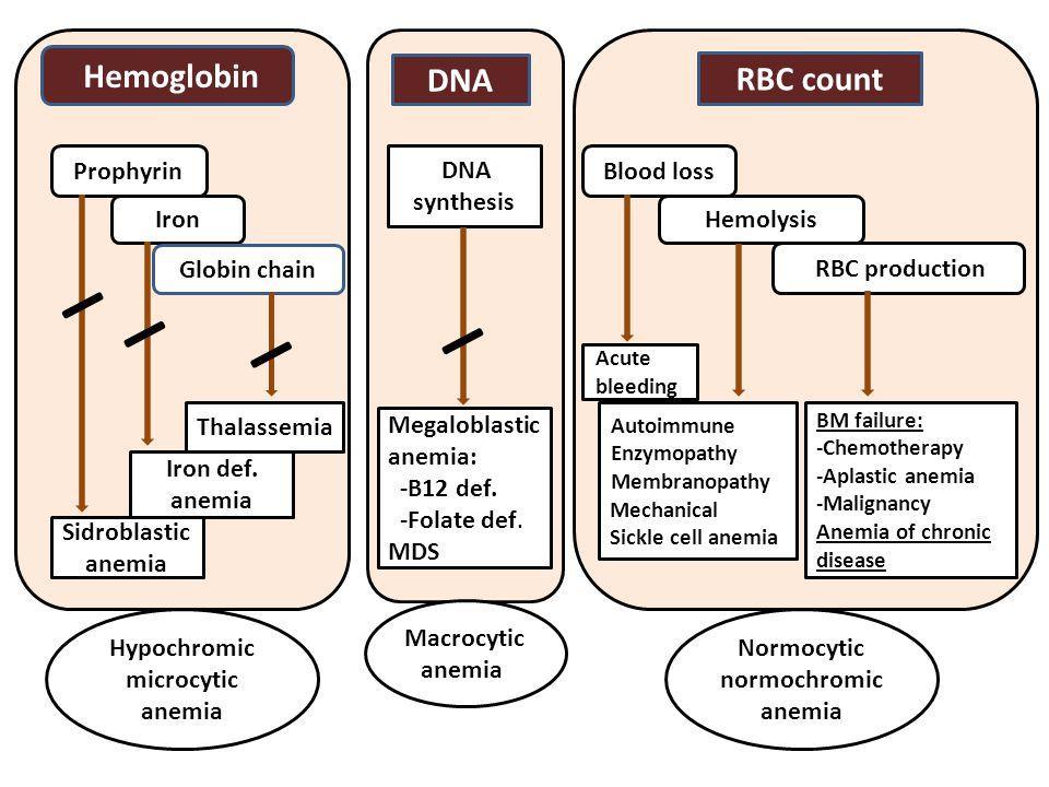 Hypochromic microcytic anemia Hemoglobin Prophyrin Iron Globin chain Thalassemia Iron def.