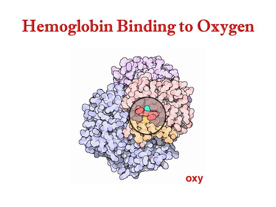 Hemoglobin Binding to Oxygen