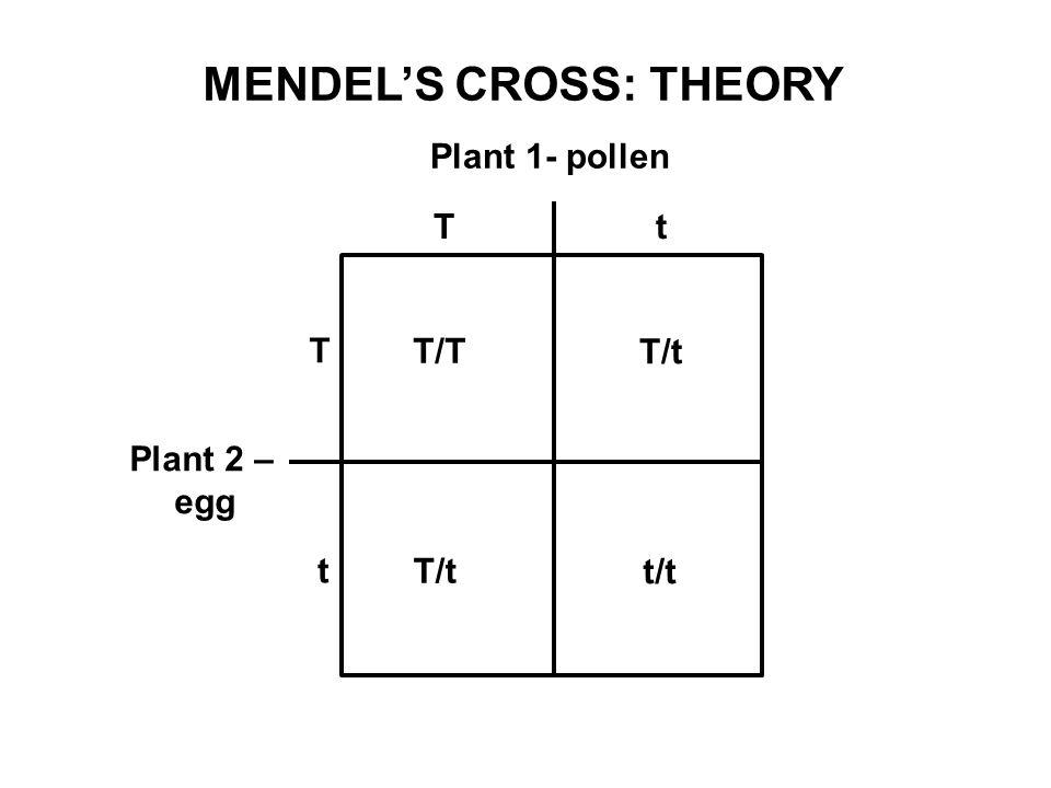 Plant 1- pollen Plant 2 – egg T T t t T/T T/t t/t MENDEL'S CROSS: THEORY