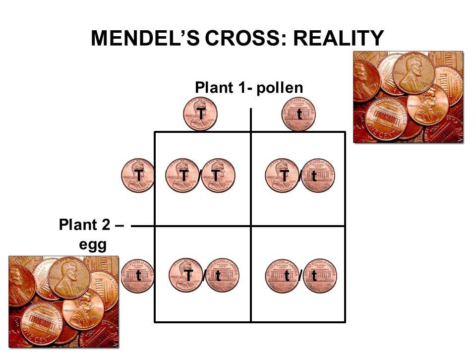 Plant 1- pollen Plant 2 – egg T T t t T / T T / t t / t MENDEL'S CROSS: REALITY T / t
