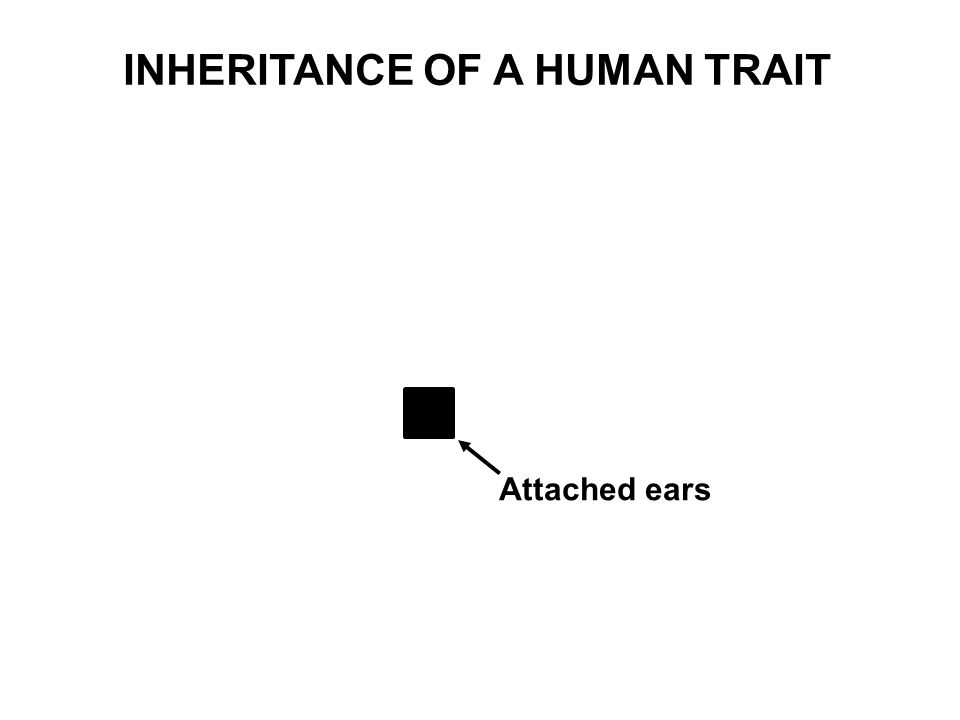 Attached ears INHERITANCE OF A HUMAN TRAIT