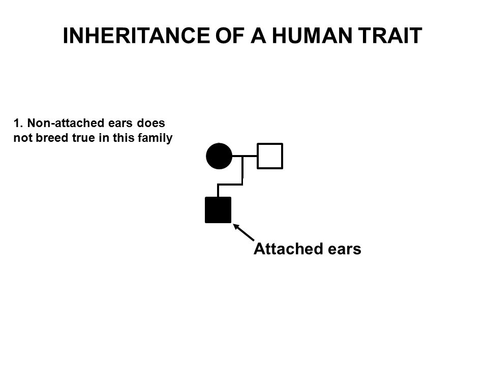 Attached ears 1. Non-attached ears does not breed true in this family INHERITANCE OF A HUMAN TRAIT