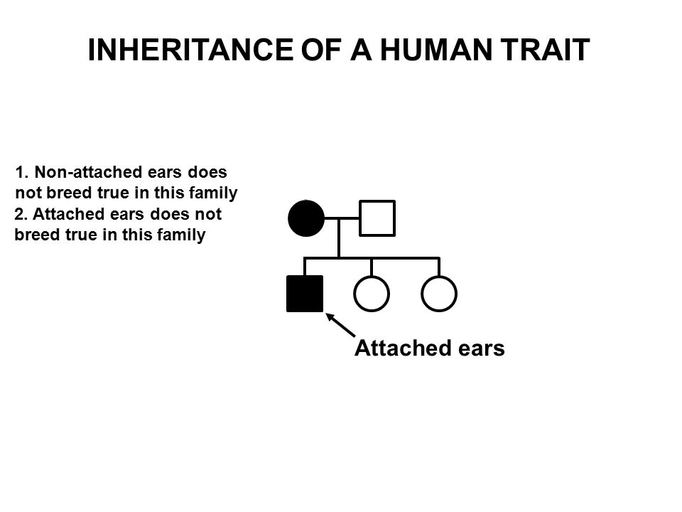 Attached ears 1. Non-attached ears does not breed true in this family 2. Attached ears does not breed true in this family INHERITANCE OF A HUMAN TRAIT