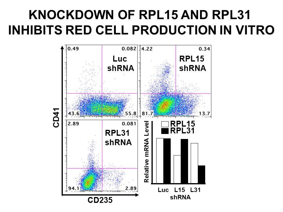 KNOCKDOWN OF RPL15 AND RPL31 INHIBITS RED CELL PRODUCTION IN VITRO ∂ Luc shRNA RPL15 shRNA ∂ RPL31 shRNA ∂ ∂ CD41 CD235 RPL15 RPL31 Relative mRNA Leve