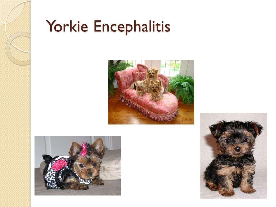 Yorkie Encephalitis