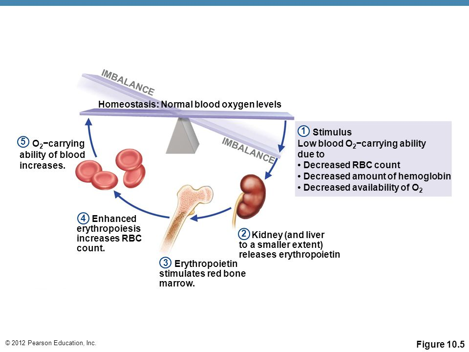 © 2012 Pearson Education, Inc. Figure 10.5 IMBALANCE Homeostasis: Normal blood oxygen levels Stimulus Low blood O 2 −carrying ability due to Decreased