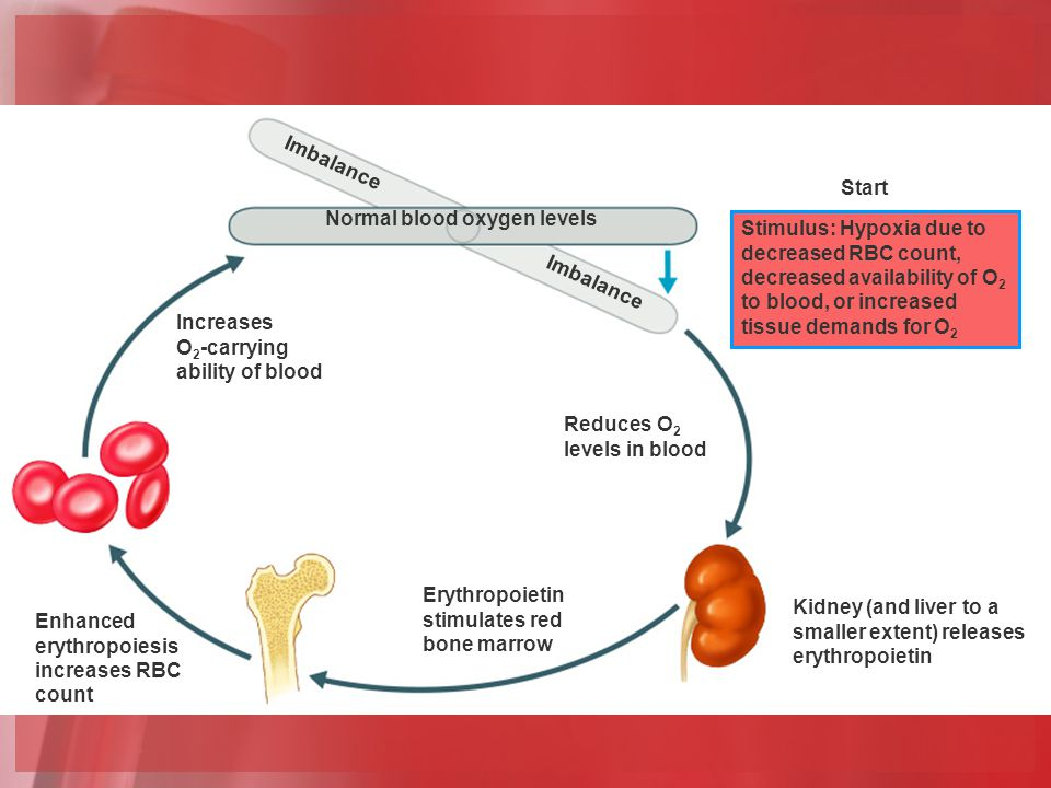 Erythropoietin Mechanism Imbalance Reduces O 2 levels in blood Erythropoietin stimulates red bone marrow Enhanced erythropoiesis increases RBC count Normal blood oxygen levels Stimulus: Hypoxia due to decreased RBC count, decreased availability of O 2 to blood, or increased tissue demands for O 2 Imbalance Start Kidney (and liver to a smaller extent) releases erythropoietin Increases O 2 -carrying ability of blood