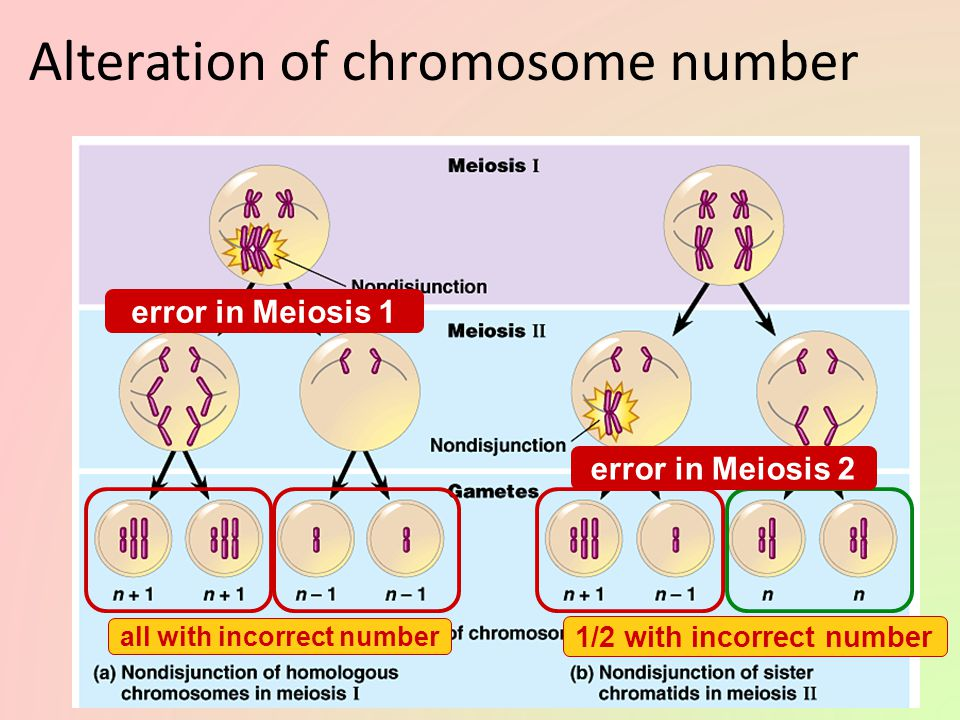 Nondisjunction Problems with meiotic spindle cause errors in daughter cells – homologous chromosomes do not separate properly during Meiosis 1 – siste