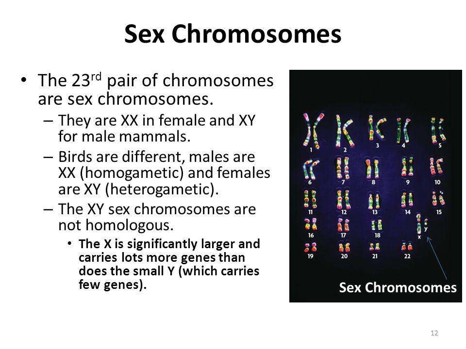 Sex Chromosomes The 23 rd pair of chromosomes are sex chromosomes.