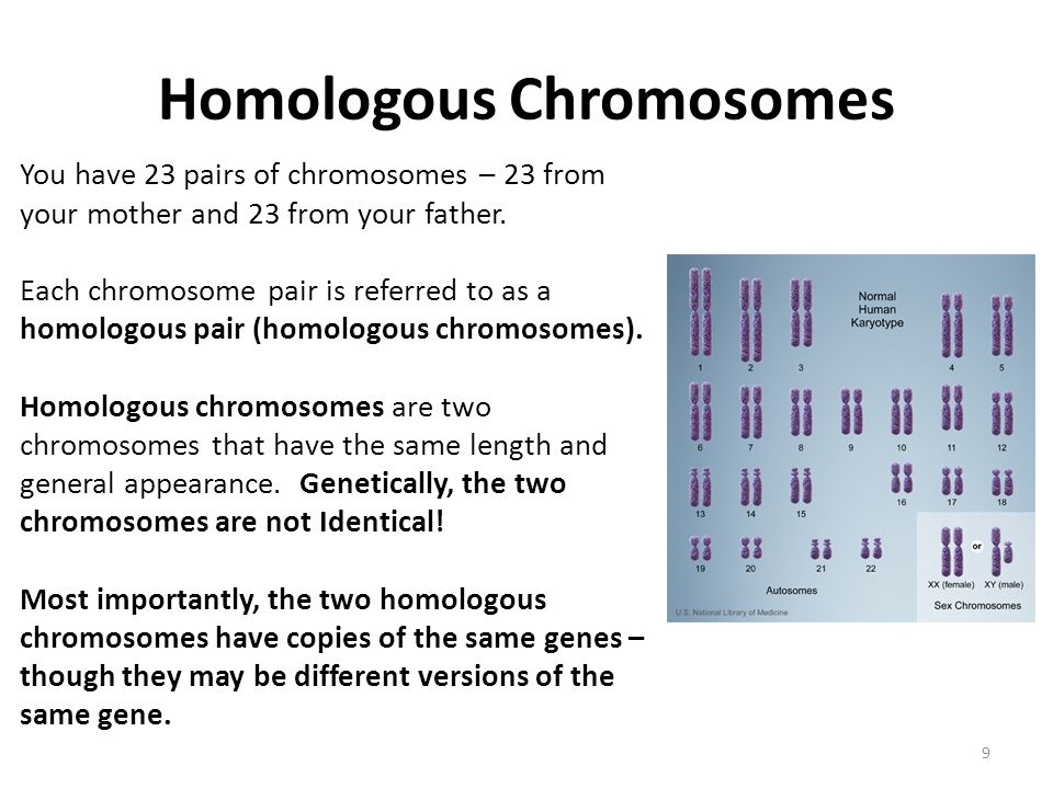 Homologous Chromosomes You have 23 pairs of chromosomes – 23 from your mother and 23 from your father.