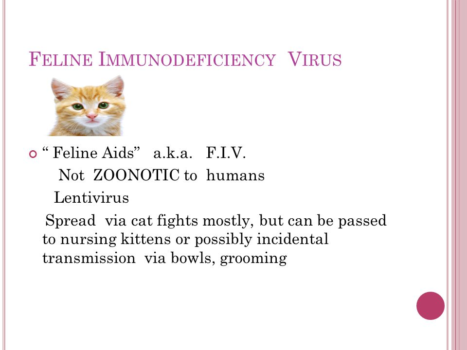 "F ELINE I MMUNODEFICIENCY V IRUS "" Feline Aids"" a.k.a. F.I.V. Not ZOONOTIC to humans Lentivirus Spread via cat fights mostly, but can be passed to nur"