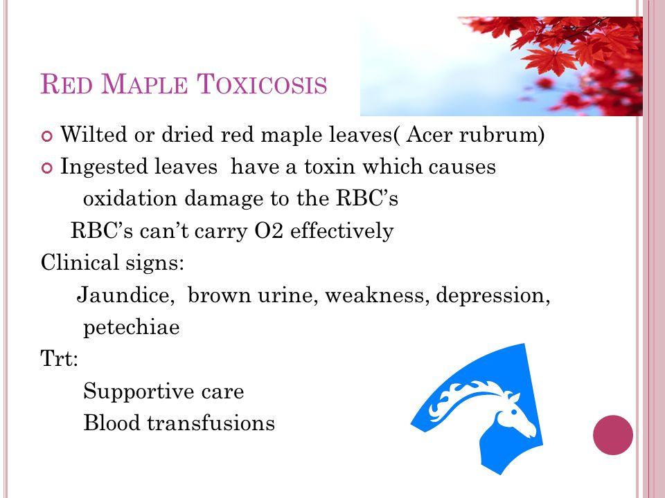 R ED M APLE T OXICOSIS Wilted or dried red maple leaves( Acer rubrum) Ingested leaves have a toxin which causes oxidation damage to the RBC's RBC's ca