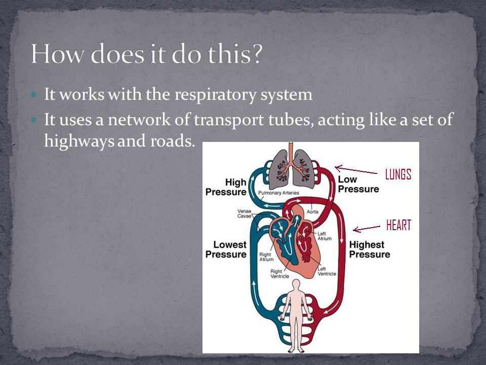 It works with the respiratory system It uses a network of transport tubes, acting like a set of highways and roads.