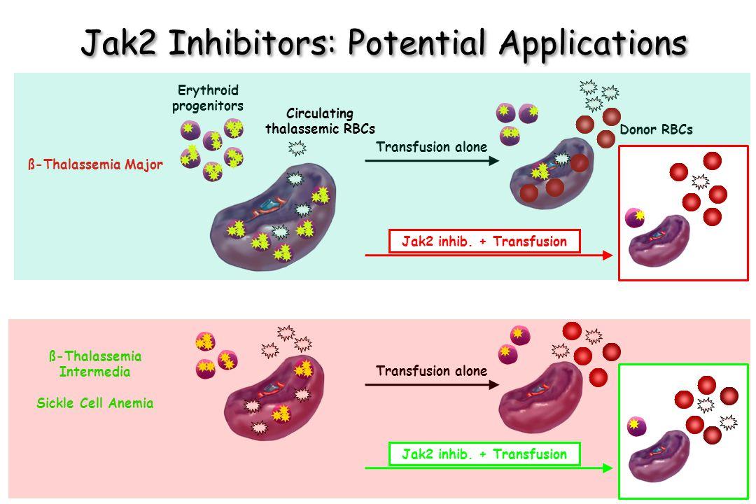 Transfusion alone Donor RBCs Transfusion alone Jak2 Inhibitors: Potential Applications ß-Thalassemia Intermedia Sickle Cell Anemia ß-Thalassemia Major Erythroid progenitors Jak2 inhib.