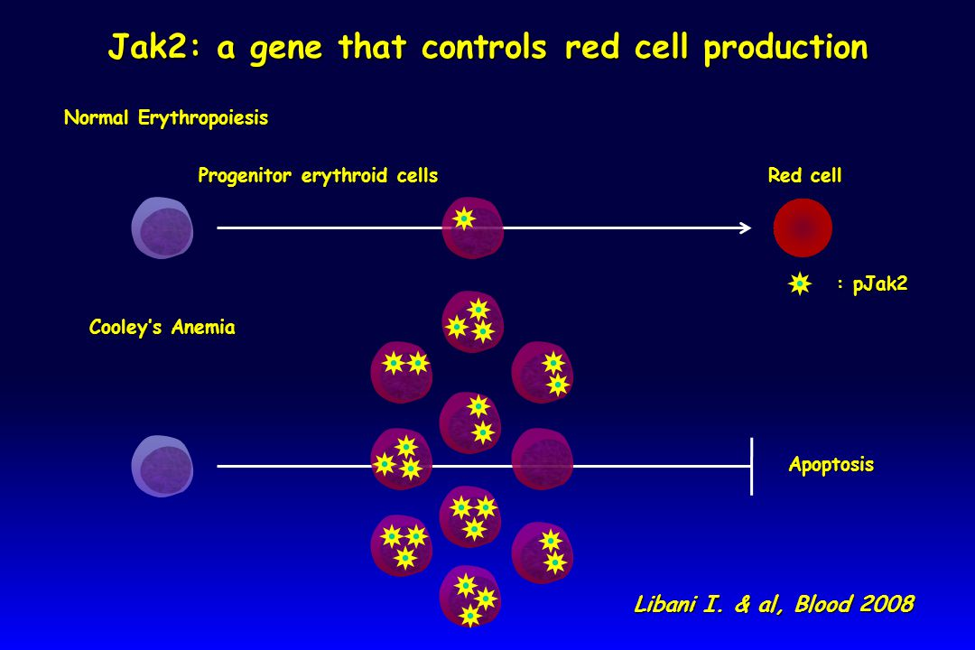 Progenitor erythroid cells Progenitor erythroid cells Normal Erythropoiesis Normal Erythropoiesis Red cell Red cell Cooley's Anemia Cooley's Anemia Apoptosis Jak2: a gene that controls red cell production : pJak2 Libani I.