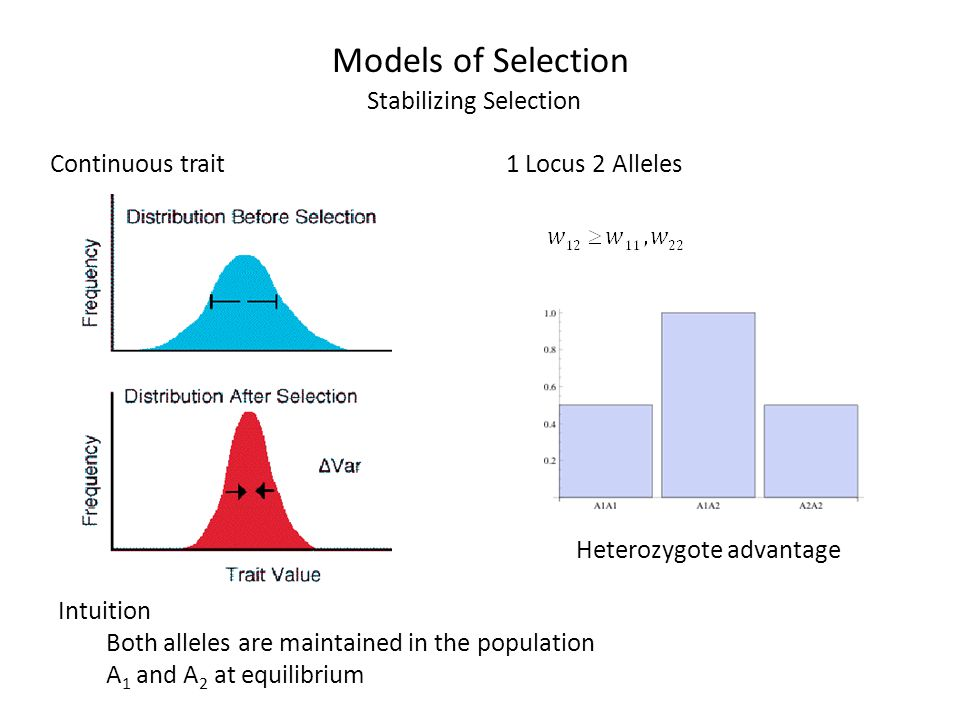 Models of Selection Stabilizing Selection Intuition Both alleles are maintained in the population A 1 and A 2 at equilibrium Continuous trait1 Locus 2