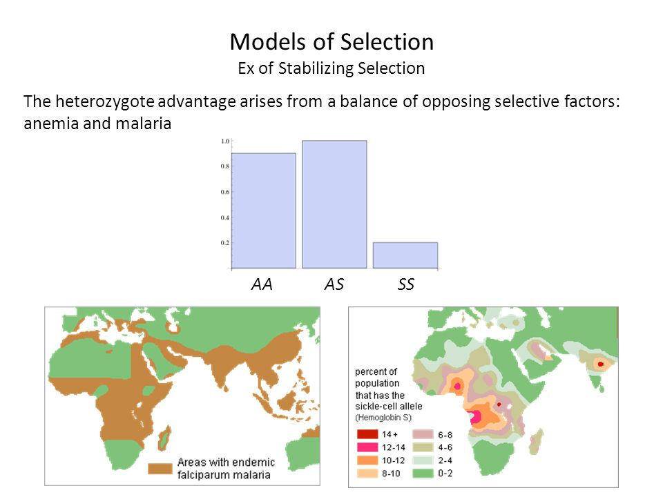 The heterozygote advantage arises from a balance of opposing selective factors: anemia and malaria AAASSS Models of Selection Ex of Stabilizing Select