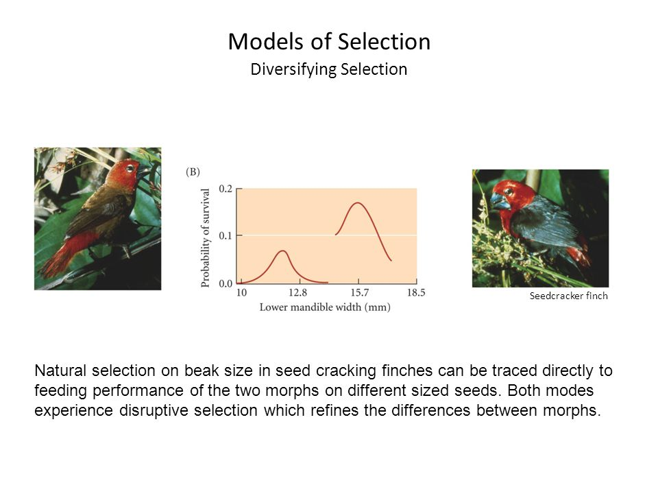 Natural selection on beak size in seed cracking finches can be traced directly to feeding performance of the two morphs on different sized seeds. Both