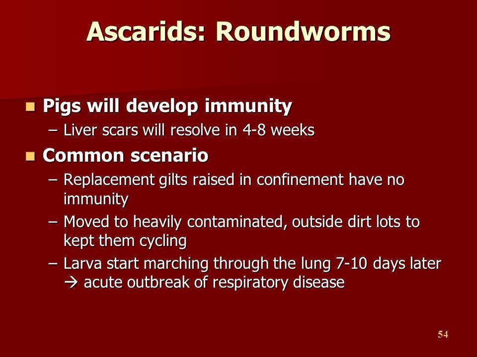 54 Ascarids: Roundworms Pigs will develop immunity Pigs will develop immunity –Liver scars will resolve in 4-8 weeks Common scenario Common scenario –