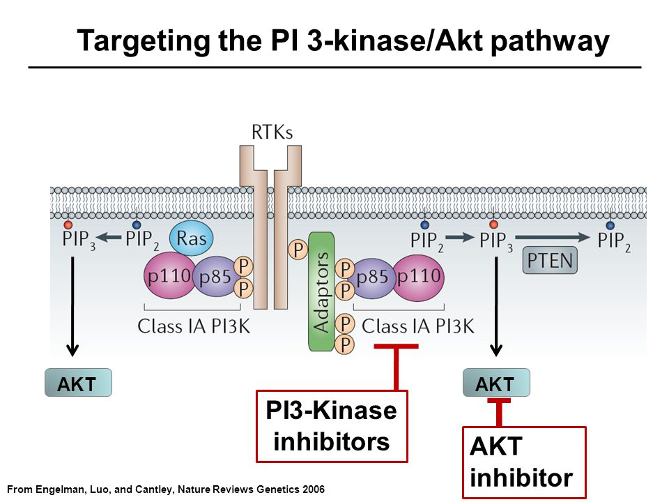 Targeting the PI 3-kinase/Akt pathway From Engelman, Luo, and Cantley, Nature Reviews Genetics 2006 AKT T PI3-Kinase inhibitors AKT inhibitor